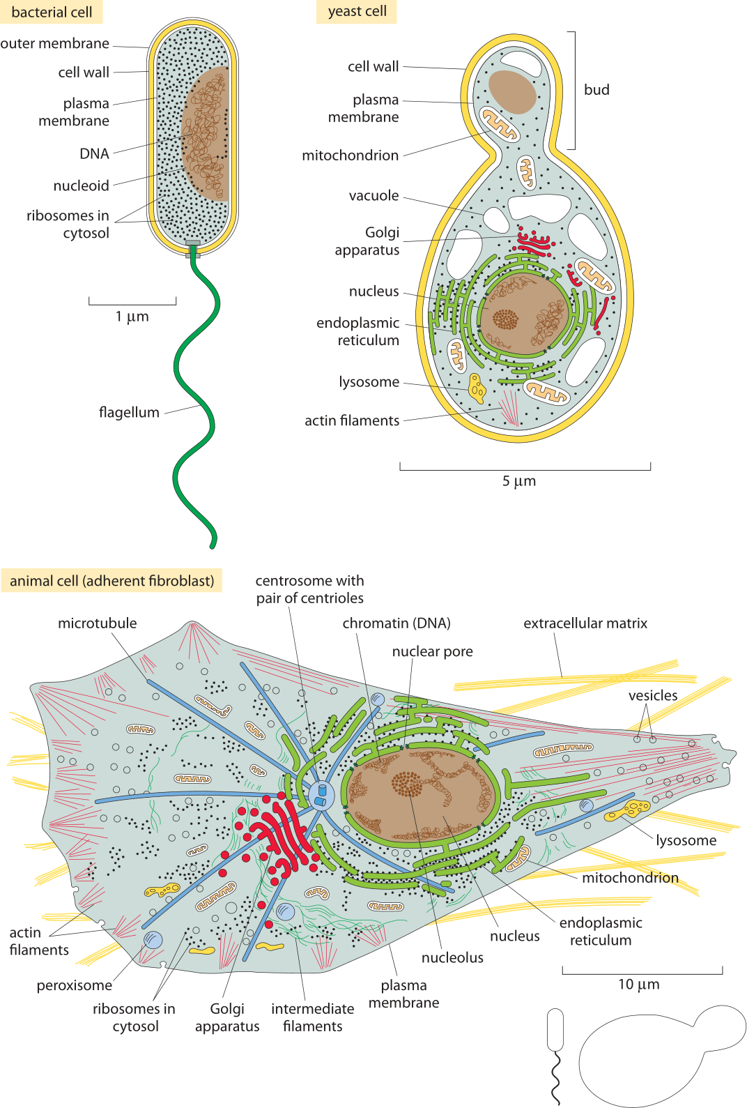 The Geography Of The Cell