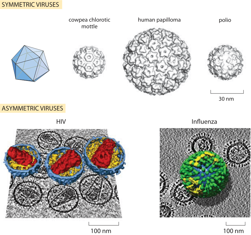 How Big Are Viruses