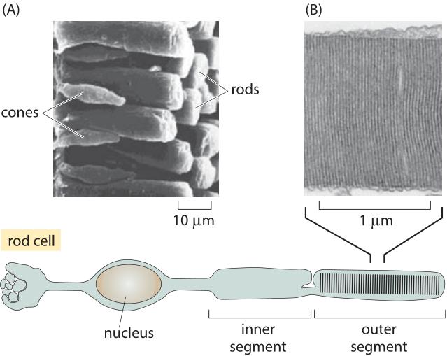 130-f1-Photoreceptor-1