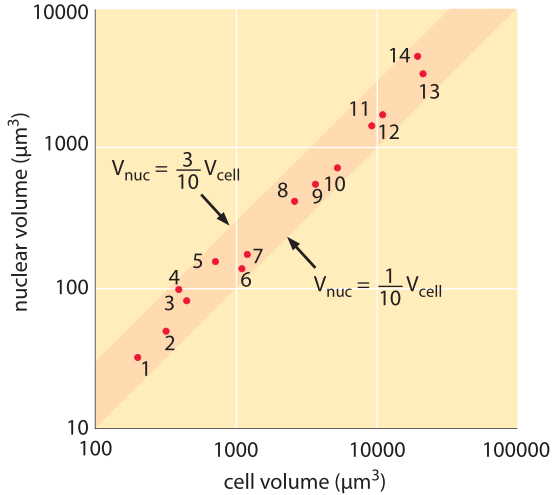 Figure 4: The relationship between the nuclear volume and cell volume in apical meristems of 14 herbaceous angiosperms. 1 Arabidopsis thaliana,  2 Lobularia maritime (Sweet Alison), 3 Hypericum virginicum (Marsh St. John's wort), 4 Cicer arietinum (chickpea), 5 Nelumbo lutea, 6 Spinacia oleracea (spinach), 7 Cyanotis pilosa, 8 Anemone pulsatilla (Meadow Anemone), 9 Tradescania navicularis (day flower), 10 Convallaria majalis (Lily of the valley), 11 Fritillaria laneeolata (chocolate lily), 12 Fritillaria camtschatcensis, 13 Lilium longiflorum  (Easter lily)(4 x ), 14 Sprekelia formosissima (Aztec lily). (Adapted from H. J. Price et al., Experientia, 29:1028, 1973.)