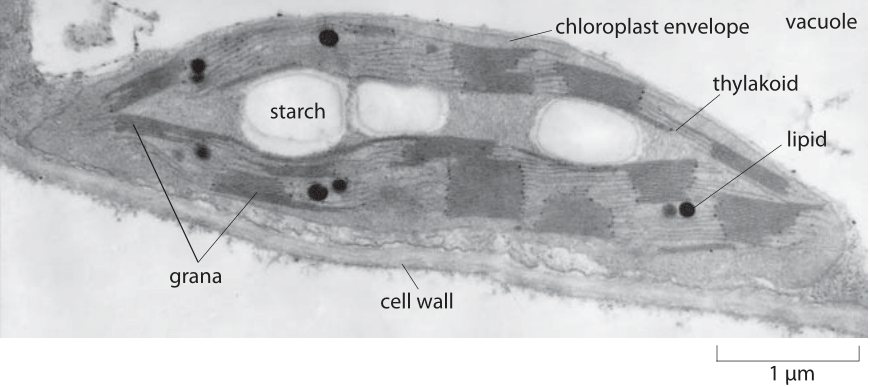 145-f1-ChloroplastStructure-1
