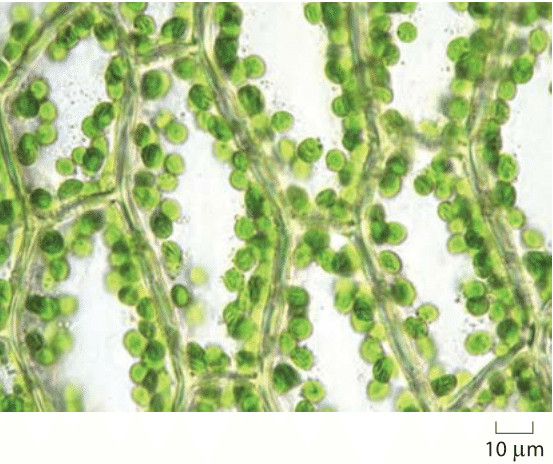 Figure 2: Chloroplasts in the moss Plagiomnium affine, found in old-growth boreal forests in North America, Europe and Asia, growing in moist woodland and turf. The shown lamina cells are elongated, with length of about 80 microns and width of 40 microns. These cells, as most plant cells, have their volume mostly occupied by large vacuoles so the cytoplasm and chloroplasts are at the periphery. Chloroplast also show avoidance movement, in which chloroplasts move from the cell surface to the side walls of cells under high light conditions to avoid photodamage.  Used with permission from Ralf Wagner.  From: http://www.dr-ralf-wagner.de/Moose/Plagiomnium_affine.html