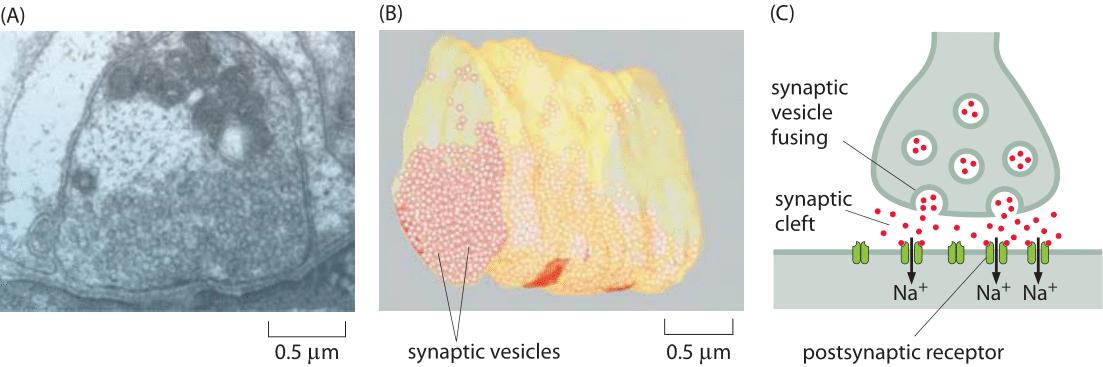 160-f1-SynapseSize-1