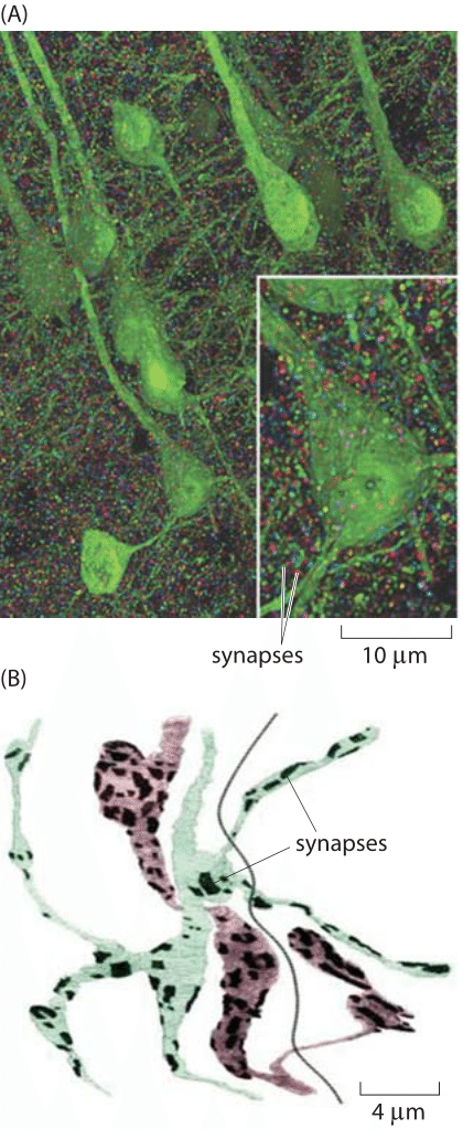 Figure 3: Images of the synapse.   (A) Volume rendering of the somatosensory cortex of a mouse.  The synaptic marker synapsin has been immunolabeled making it possible to see the individual synapsin puncta connecting neurons labeled in green. The individual synapses were rendered in random colors. (B) Reconstruction of two axons from Drosophila showing the location of synaptic connections (dark patches). Color is used to distinguish the two cells. The dark line is the boundary between the two muscles that are in contact with the axons. (A adapted from D. Kleinfeld et al., J. Neurosci.,31:16215, 2011;  B  adapted from S. O. Rizzoli and W. J. Betz, Nat. Rev. Neuroscience,  6:57, 2005.)