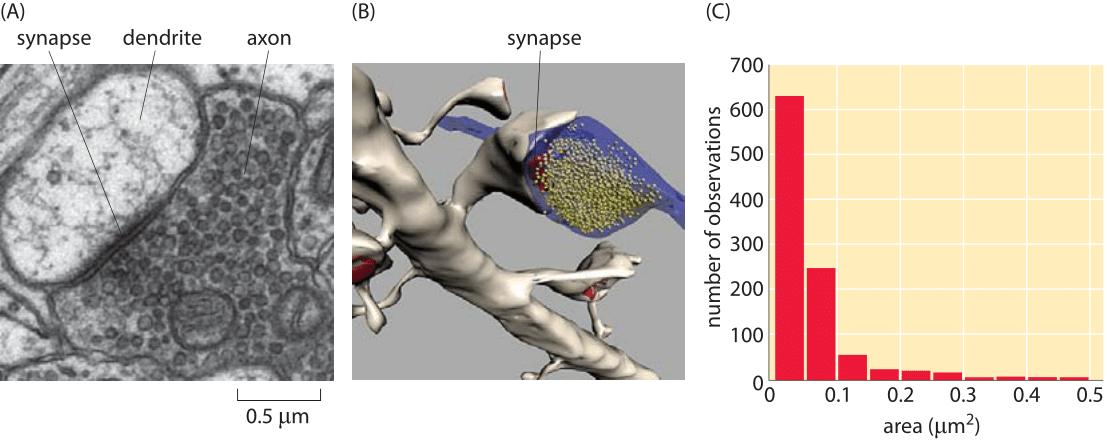 160-f2-SynapseSizeHist-1