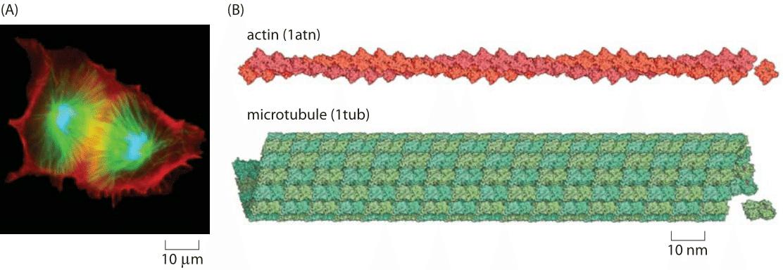 182-f1-CytoskeletonSize-1