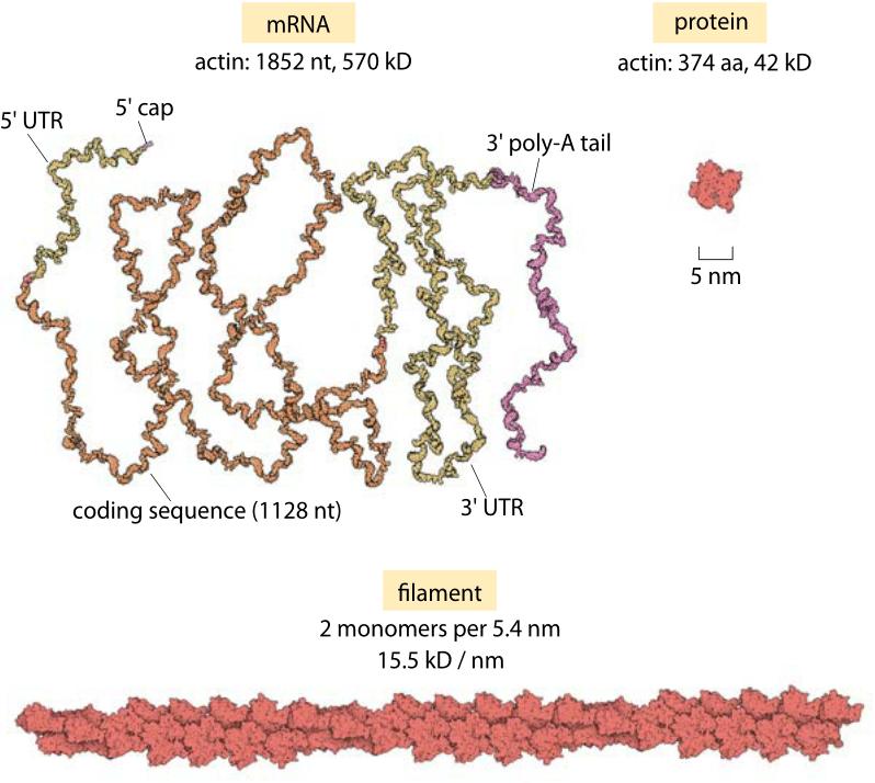 182-f2-ActinmRNAvsProtein-1
