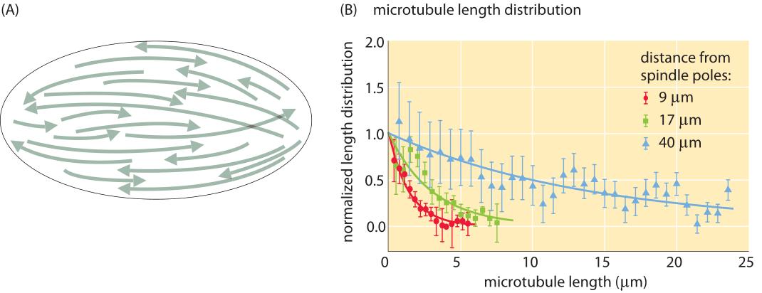 182-f4-MicrotubuleDistribution-1