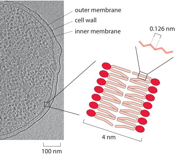 185-f1-EcoliCellMembrane-1