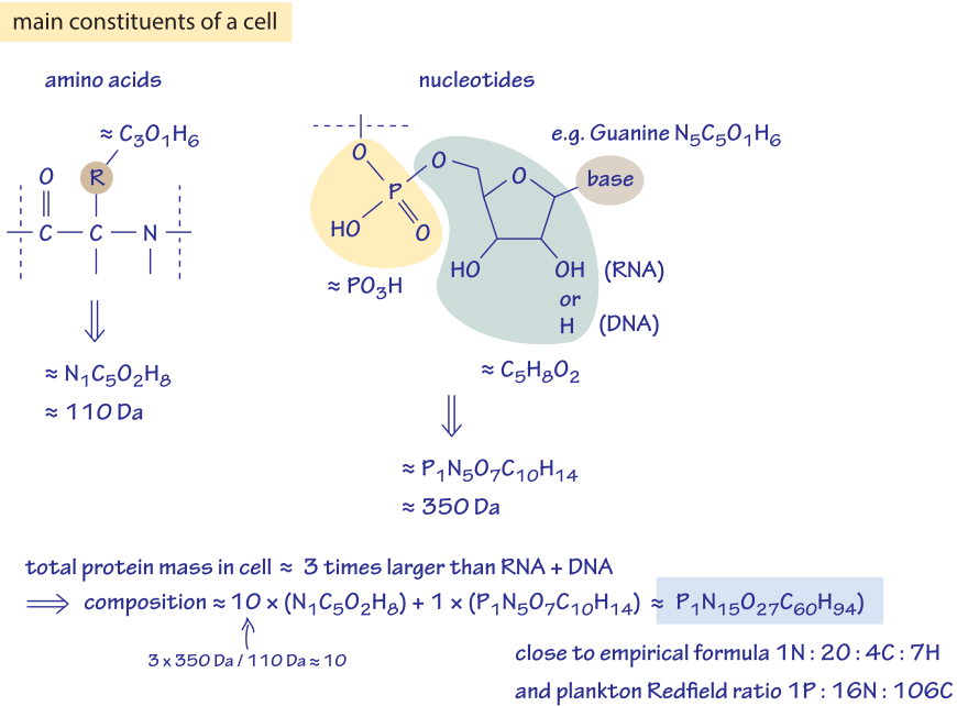 Figure 3: Back of the envelope calculation to estimate the ratio of different elements in the cell. Only the dominant constituents are considered, namely amino acids composing proteins and nucleotides composing RNA and DNA.