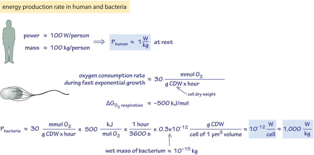 Figure 1 Back Of The Envelope Calculation Estimating Rate Energy Production In A Human And Bacterial Cell