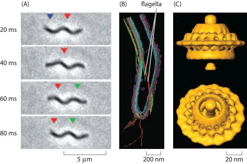 Figure 3: Spirochaete motility powered by periplasmic flagella.  (A) A swimming T. primitia cell shown at various times during a swimming trajectory. (B) Cryo-electron microscopy image reconstruction of the internal flagella.  (C) The molecular motor that powers rotation of the flagellum. (A, B adapted from G. E. Murphy et al., Molecular Microbiology, 67:1184, 2008; C adapted from  G. E. Murphy et al., Nature, 442:1062, 2006.)