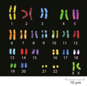 Figure 1: Microscopy images of human chromosomes. Spectral karotyping allows for the visualization of chromosomes by effectively painting each chromosome fluorescently with a different color. (Adapted from http://www.genome.gov/10000208).
