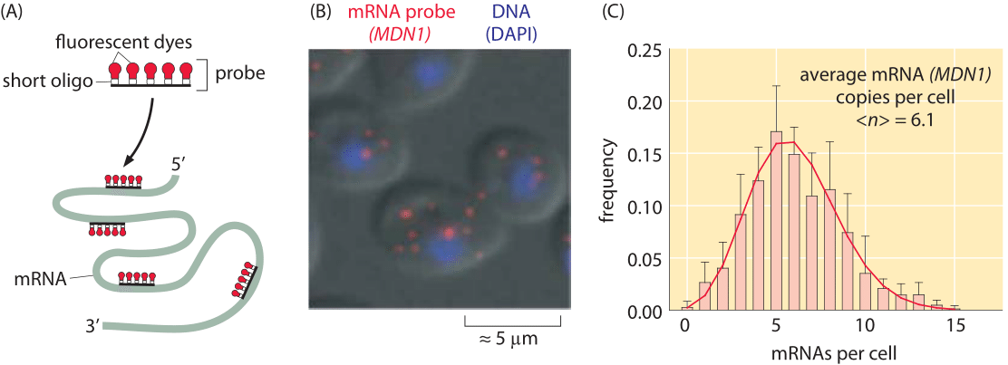 Figure 2: Measuring single cell variability of mRNA levels in budding yeast. (a) Cartoon showing how probes are designed to target different regions of an mRNA molecule of interest.  (B) Fluorescence microscopy image of yeast cells revealing the number of mRNA per cell.  (C)  Histogram showing the number of mRNAs per cell for a particular gene (MDN1) of interest in yeast.   (Adapted from D. Zenklusen et al., Nat Struct Mol Biol. 15:1263, 2008.)