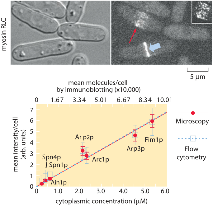 Figure 2: Molecular census of the actin cytoskeleton in fission yeast.  (A) Phase contrast images of fission yeast cells.  (B) Fluorescence images of myosin.  (C) Calibration of the census.  The number of molecules per cell as determined from immunoblotting shows a linear relation with the average fluorescence per cell. (Adapted from J.-Q. Wu and T. D. Pollard, Science, 310:310, 2005.)