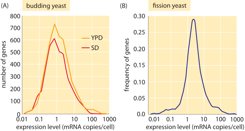 Figure 4: mRNA distributions in yeast.  (A) mRNA distribution in budding yeast grown in rich media (YPD) and minimal media (SD) as measured using PCR.  (B) mRNA distribution in fission yeast measured using RNA-Seq.  ((A) adapted from F. Miura, BMC Genomics, 9, 574 (2008); (B) adapted from S. Marguerat, Cell, 151:671 (2012)).