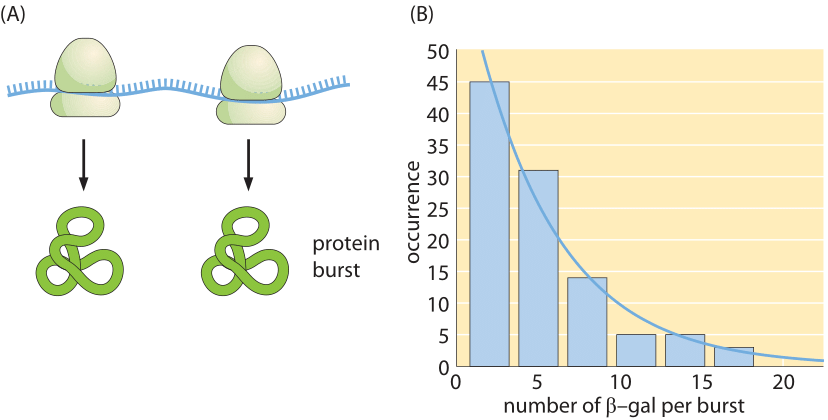 Figure 4: Dynamics of protein production.  (A) Bursts in protein production resulting from multiple rounds of translation on the same mRNA molecule before it decays. (B) Distribution of burst sizes for the protein beta-galactosidase in E. coli.  (Adapted from L. Cai et al., Nature, 440:358, 2006.)