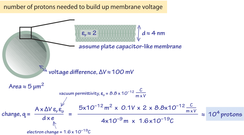 Figure 1: Back of the envelope schematic calcuation on how many protons are required to build up the membrane voltage difference.