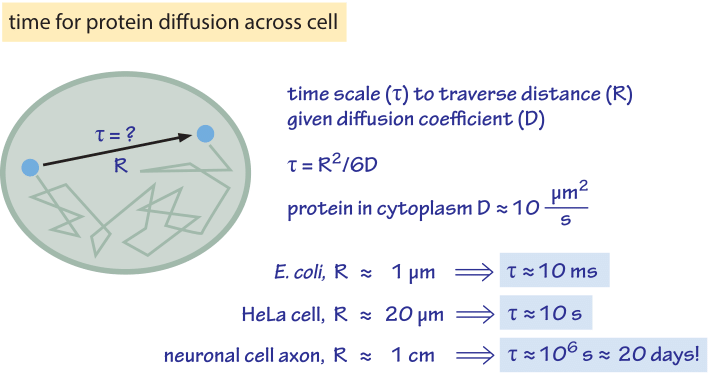 What are the time scales for diffusion in cells?