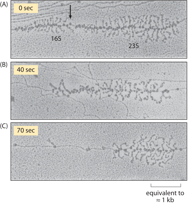 Figure 3: Effect of rifampin on transcription initiation. Electron micrographs of E. coli rRNA operons: (A) before adding rifampin, (B) 40 s after addition of rifampin, and (C) 70 s after exposure. After drug treatment, no new transcripts are initiated, but those already initiated are carrying on elongation. In parts (A) and (B) the arrow indicates the site where RNaseIII cleaves the nascent RNA molecule producing 16S and 23S ribosomal subunits. RNA polymerase molecules that have not been affected by the antibiotic are marked by the arrows in part (C). (Adapted from L. S. Gotta et al., J. Bacteriol. 20:6647, 1991.)