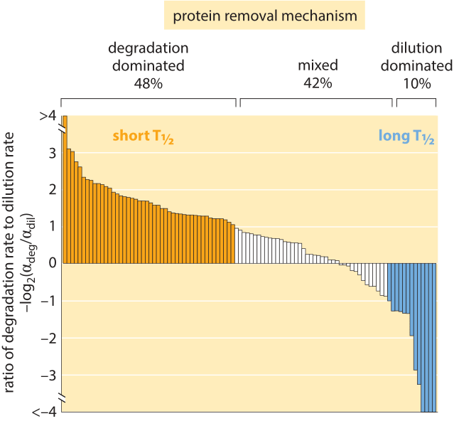 Figure 4: Distribution of 100 proteins from a H1299 human cell line, comparing the rate of degradation to dilution to find which removal mechanism is dominant for each of the proteins. The overall removal rate alpha ranges between 0.03 and 0.82 hour-1 with an average of 0.10.09 hour-1. This is equivalent to half life of ≈7 hours via the relationship half-life, T1/2 = ln(2)/alpha. Adapted from E. Eden et al, Science, 331:764, 2011.