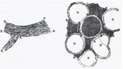 455-f1-LeeuwenhoekNerve-1