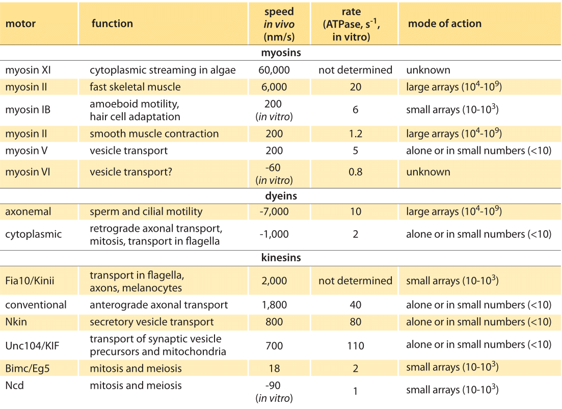 Table 1: Summary of experimental data on the dynamics of translational molecular motors. Based on BNID 101506. Values were rounded to one significant  digit.  Negative  speeds  indicate  movement  towards  the  minus end of the filament.