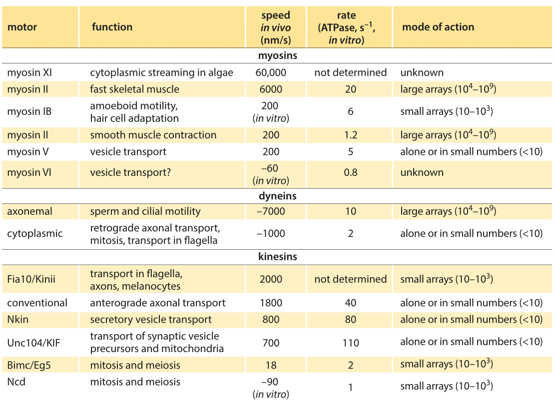 Table 1: Summary of experimental data on the dynamics of translational molecular motors. Based on BNID 106501 and 101506. Values were rounded to one significant digit. Negative speeds indicate movement towards the minus end of the filament.