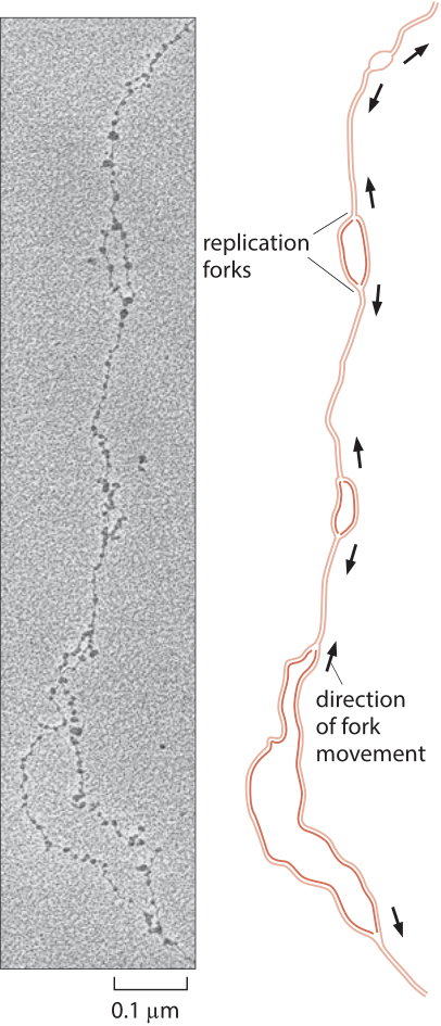 Figure 3: Replication forks in D. melanogaster. Replication forks move away in both directions from replication origins. (Electron micrograph courtesy of Victoria Foe. Adapted  from B. Alberts et al., Molecular Biology of the Cell, 5th ed. New York, Garland Science, 2008.)