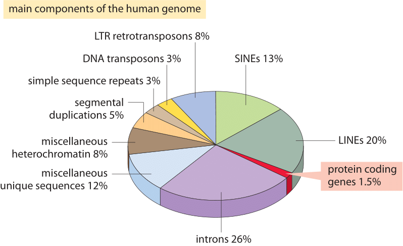 Figure 2: The different sequence components making up the human genome. About 1.5% of the genome consists of the ≈20,000 protein-coding sequences which are interspersed by the non coding introns, making up about 26%. Transposable elements are the largest fraction (40-50%) including for example long interspersed nuclear elements (LINEs), and short interspersed nuclear elements (SINEs). Most transposable elements are genomic remnants, which are currently defunct. (BNID 110283, Adapted from T. R. Gregory Nat Rev Genet. 9:699-708, 2005  based on International Human Genome Sequencing Consortium. Initial sequencing and analysis of the human genome. Nature 409:860 2001.)