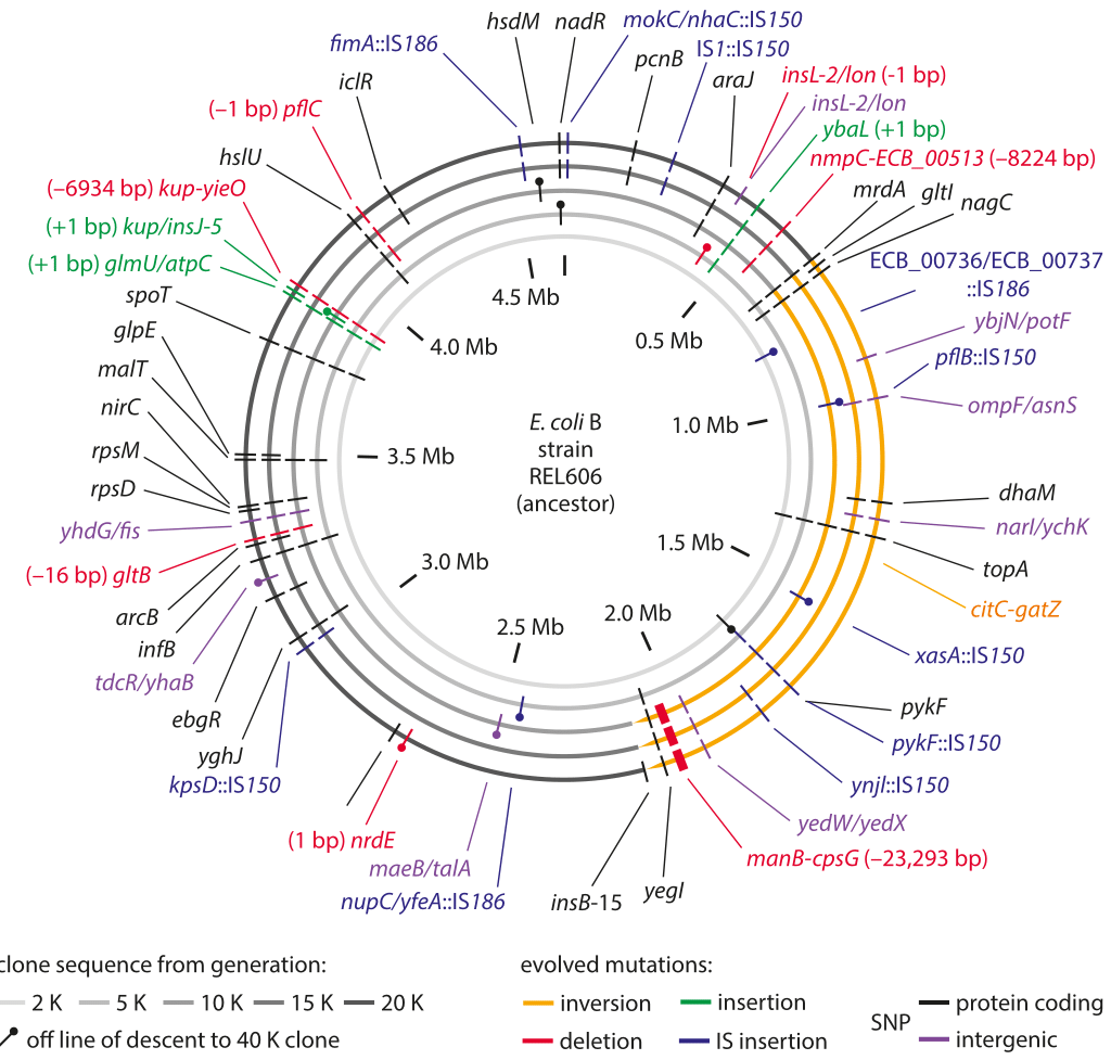 Figure 1: Sequencing measurements of fixed mutations over 20,000 generations in E. coli. Because of this long-term experiment, it is possible to compare the full genome sequence at different times to the reference sequence for the genome at the time the experiment started. The labels in the outer ring show the specific mutations that were present after 20,000 generations. Adapted from J. E. Barrick et al. Nature, 461:1243, 2009.