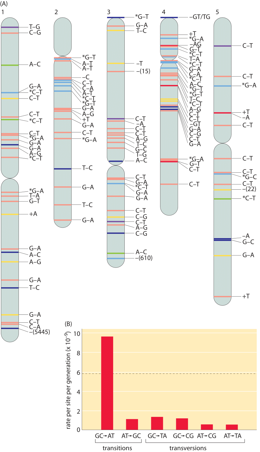Figure 4: (A), Spontaneous mutations across the A. thaliana chromosomes after 30 generations (single seed dependents). Color definitions: red, intergenic region; yellow, intron; dark blue, nonsynonymous substitution, shift of reading frame for short indels, or gene deletion for large deletions; green, synonymous substitution; purple, UTR; and light blue, transposable element. + and – refer to insertions and deletions respectively. Asterisk denotes methylated cytosine. (B), The rate of mutations varies across different base pairs. Mutation rates are shown per site per generation. The overall mutation rate, which is the average of the total mutation rates at A:T and G:C sites, and its standard error in gray are shown in the background. The total mutation rate sums for example for the base pair A:T the rates of change to C:G, G:C and T:A. Adapted from S. Ossowski et al. Science, 327:92, 2009.