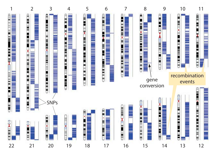 Figure 2: Detection of recombination from a single sperm cell. The two columns in each chromosome represent the two somatic haplotypes, and blue lines show the genotyping calls of heterozygous SNPs from the sample. Each switch of haplotype block indicates a recombination event. (Adapted from J. Wang, Cell 150:402,2012.)