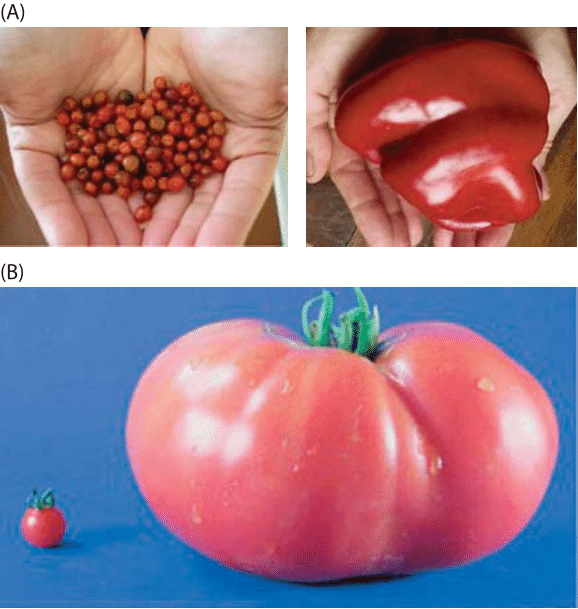 Figure 3: Plant and organ size changes from domestication, breeding hybridization and transgenic modification. These variations are found to be mostly driven by change in cell number. Fruit size of wild and domesticated species: (A) wild relative species of pepper, Capsicum annuum cv. Chiltepin (left) and bell pepper (right) (B) wild relative species of tomato, Solanum (left), Solanum esculentum cv Giant Red (right)