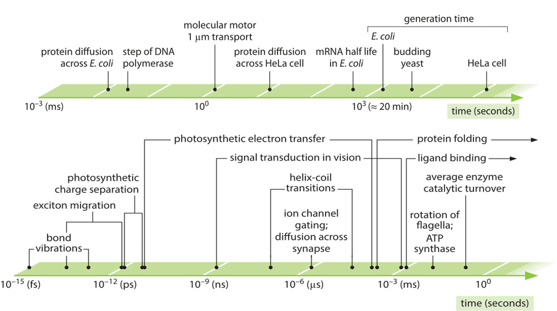 Figure 1: Range of characteristic time scales of central biological processes. Upper axis shows the longer timescales from protein diffusion across a bacterial cell to the generation time of a mammalian cell. The lower axis shows the fast timescales ranging from bond vibrations to protein folding and catalytic turnover durations.